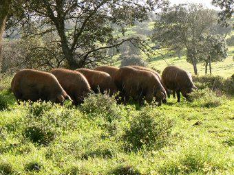 Portugal à beira de duplicar exportações de porco