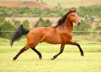 Criadores de cavalos podem exportar para a Arábia Saudita