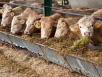 Já se pode exportar bovinos para o Qatar