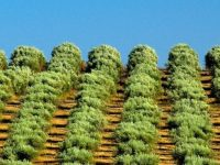 Portugal é o terceiro exportador de azeite da UE